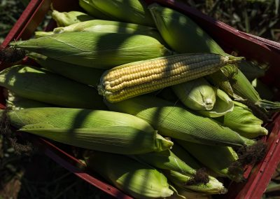 Colheita manual de milho